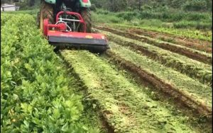 Mogi das Cruzes: Sem poder escoar, produtores transformam plantio em adubo